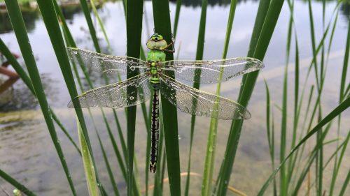 Libelle mit Wassertropfen auf den Flügel