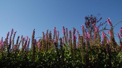 Gartensalbei mit Blick in den Himmel