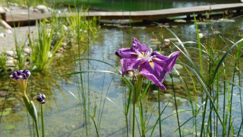 Sumpfirisblüte am Rand des Schwimmteiches