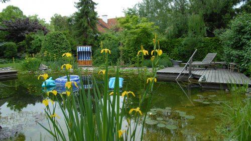 heimische Sumpfschwertlilie