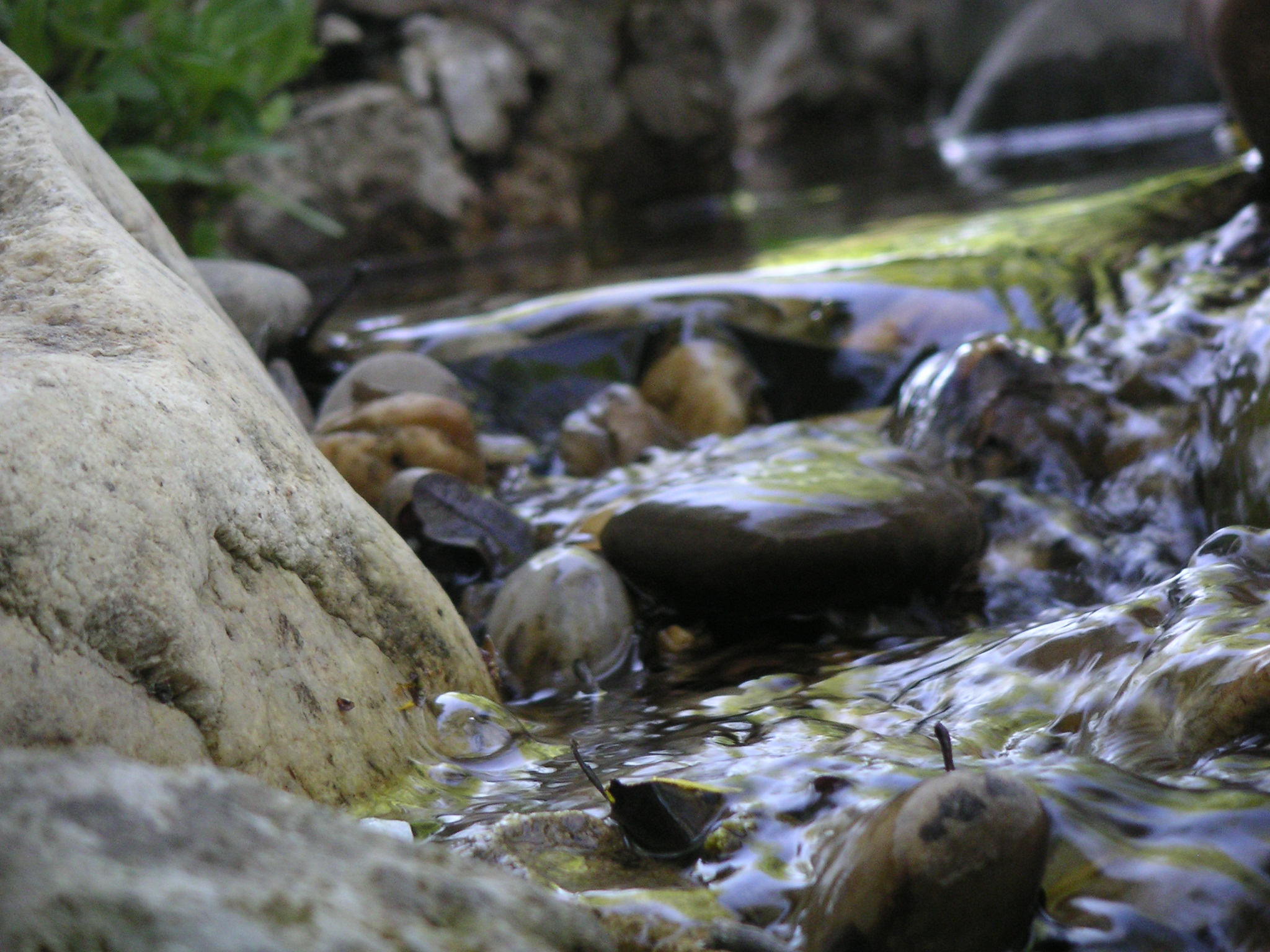 ein Bächlein und die Sumpfdotterblume