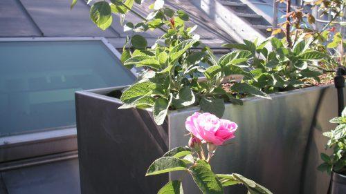 rosa Rose vor dem verzinkten Pflanztrog