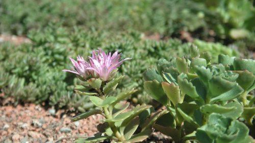Sedum mit rosa Blüte