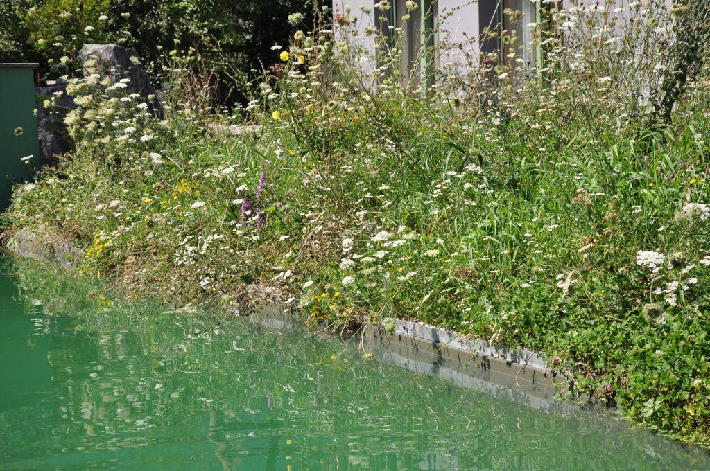 natürliche Sumpfpflanzen am Rande des Schwimmbereiches
